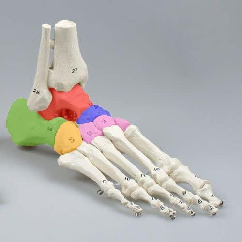 Abbildung der tarsalen Fußknochen